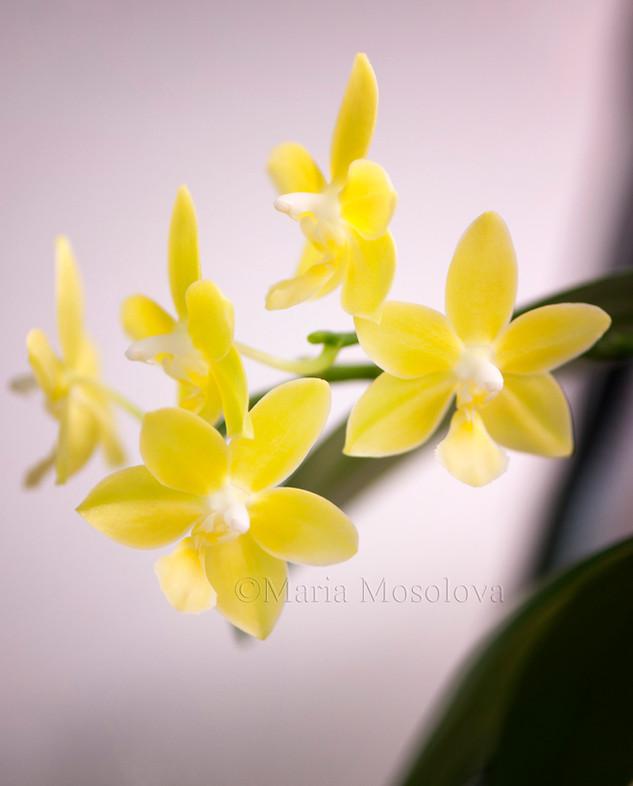 Phalaenopsis Ho's Dreamy Jade 'Sweetheart'