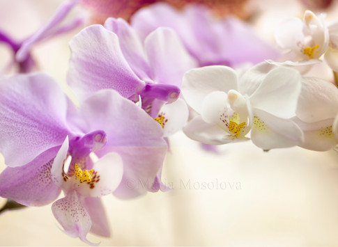 Flowers of Phalaenopsis schilleriana 'Fragrant Butterfly' orchid  and one flower of  Doritaenopsis Newberry Snowdrops 'Bouquet' orchid