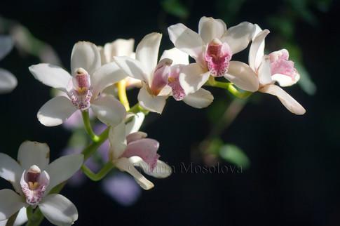 Pale Pink Cymbidium Orchid Flowers