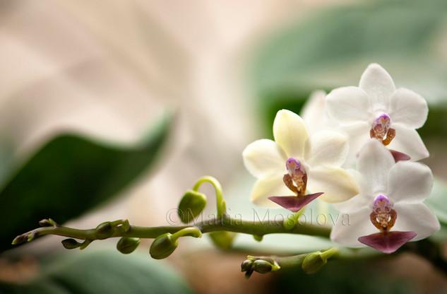 Phalaenopsis Memoria Liu Jin-Chyuan