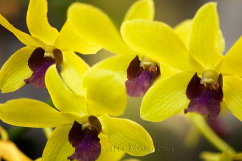 Dendrobium Thongchai Gold