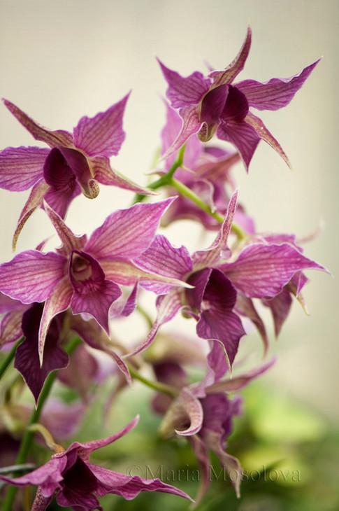 Dendrobium Hawaii Spectacular