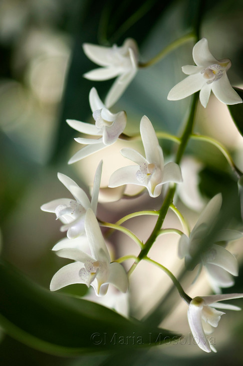 Dendrobium delicatum Orchid Flowers