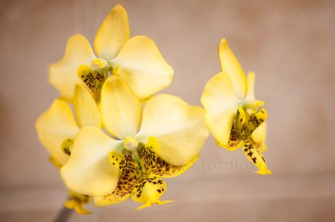 Whalaenopsis stuartiana yellow