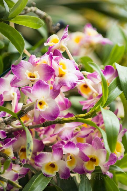 Dendrobium  Line Dance 'Minuet'