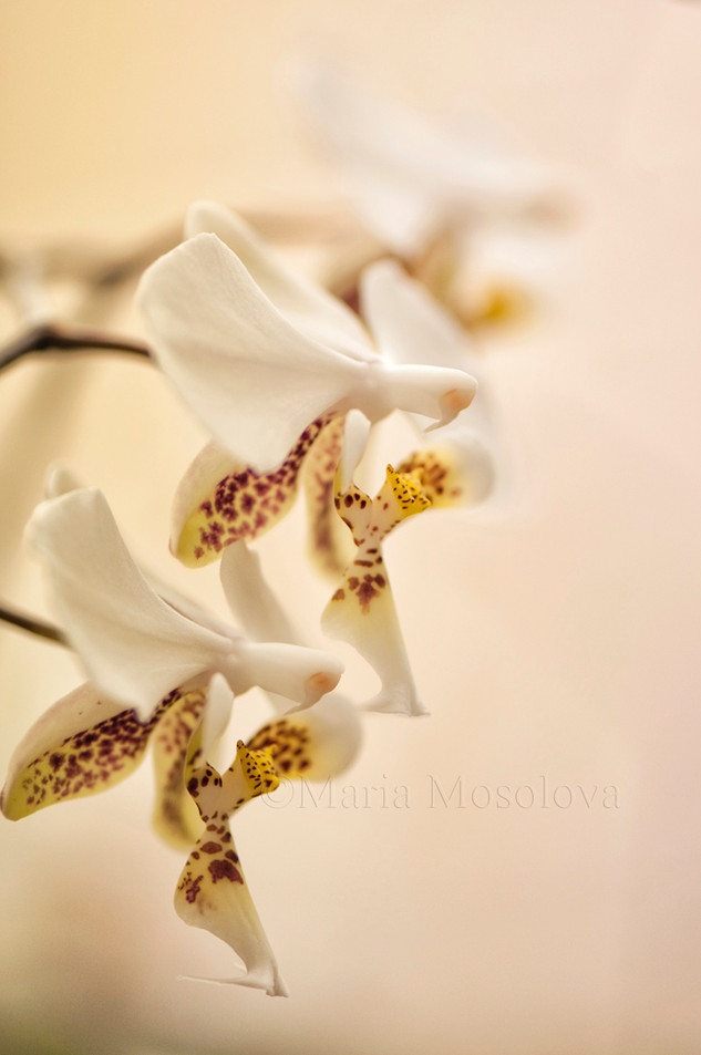 Phalaenopsis stuartuana flower repetition