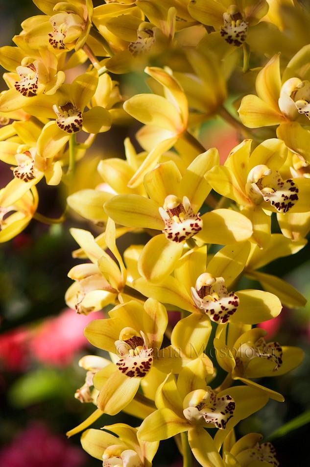 Chain of Yellow Flowers of Cymbidium Orchid