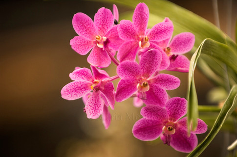 Pink vanda orchid hybrid