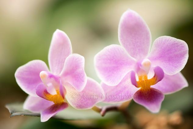 Phalaenopsis (Jong's Celebe Amah 'Peter Lin' X equestris 'B#100')
