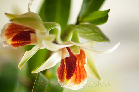 Dendrobium Christy Dawn Orchid Flowers