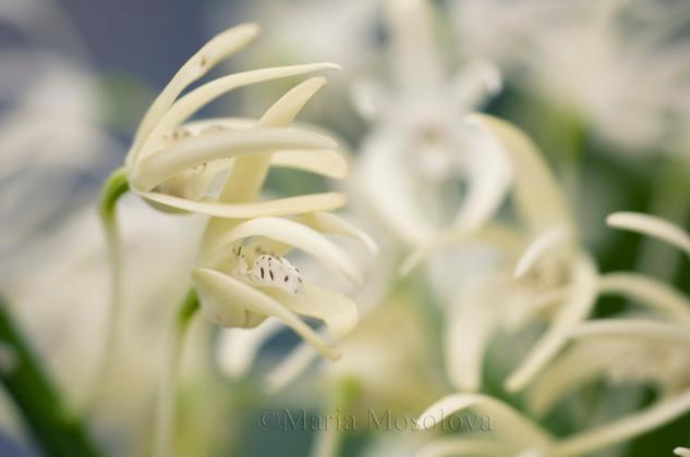 Dendrobium speciosum orchid flowers