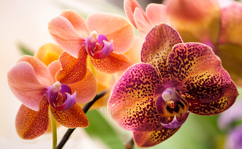 Phalaenopsis I-Hsin Spot Leopard 'Coral' and phalaenopsis Surf Song