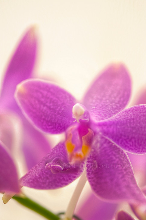 Phalaenopsis Orchid I-Hsin Flying Fire 'Sweetheart'
