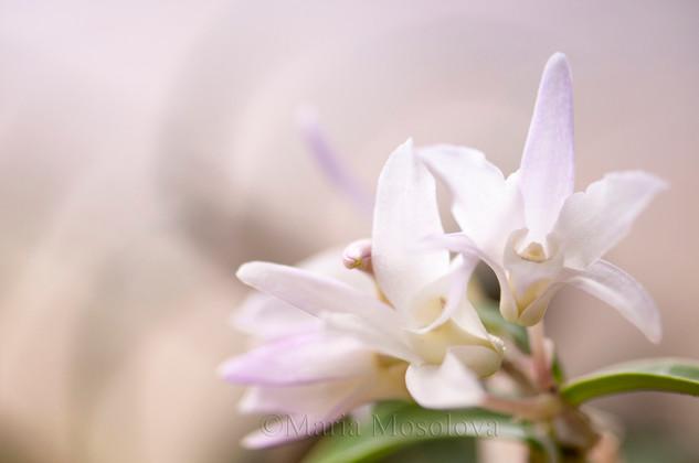 Dendrobium moniliforme orchid flowers