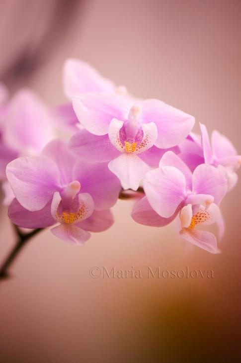 Phalaenopsis Jiaho's Pink Girl