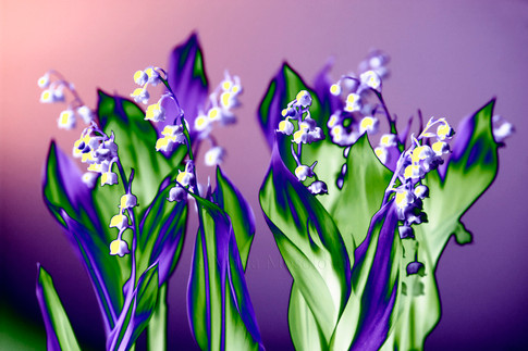 Lily of the Valley in Lavender