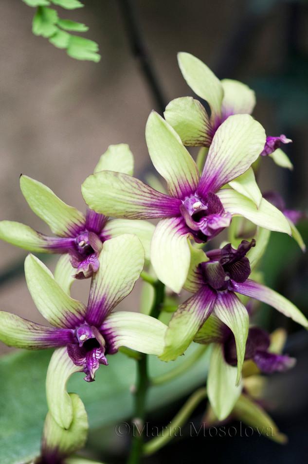 Dendrobium Brenda Lee