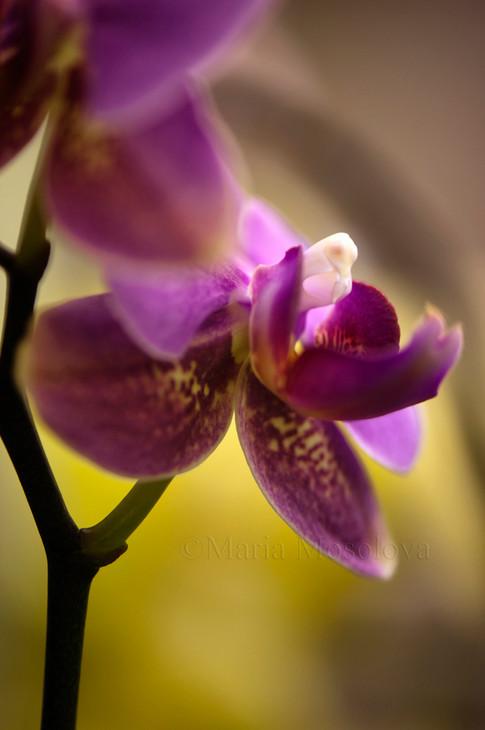 Phalaenopsis Orchid Meidarland Pride