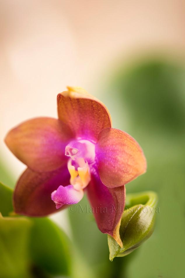 Phalaenopsis (Ld's Bear King 'Snake Eyes' X Sogo Kaiulani)