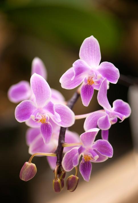 Phalaenopsis Silbergrube