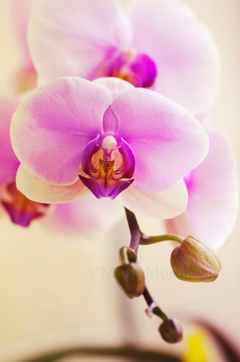 Phalaenopsis Hinamatsuri