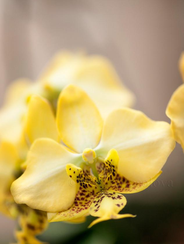 A flower close-up of yellow phalaenopsis stuartiana specie