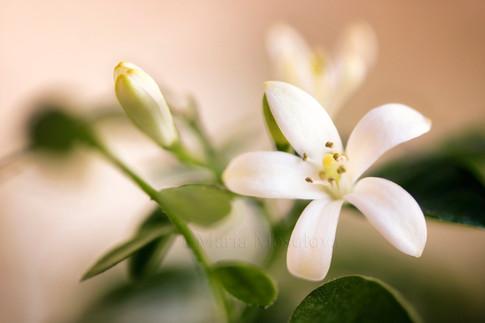 Murraya flower and a bud