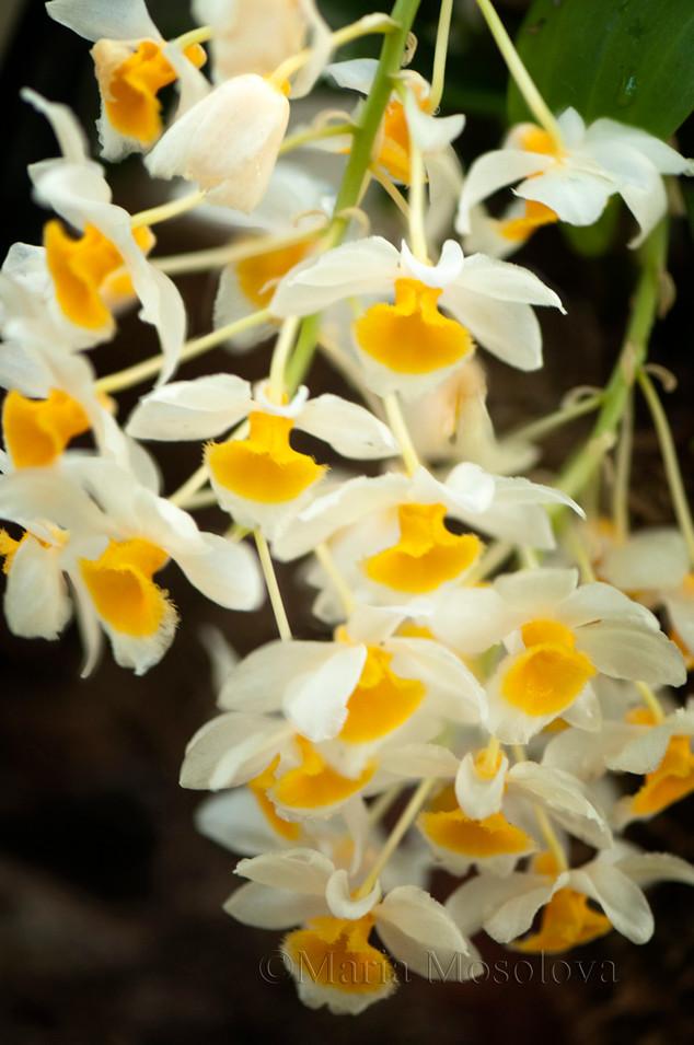 Blossoming Inflorescenses of Dendrobium farmeri