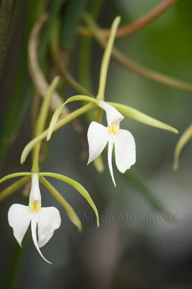 Epidendrum parkinsonianum var falcatum