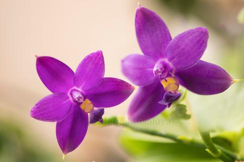 Phalaenopsis violacea flower pair