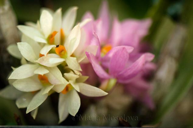 dendrobium bracteosum orchid flowers