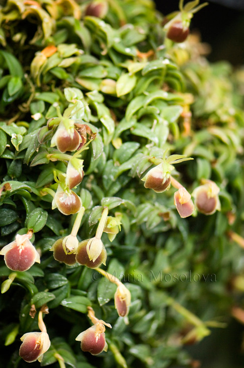Epidendrum porpax var alba 'Harford'