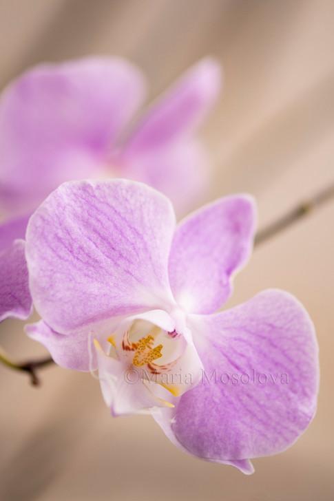Phalaenopsis sanderiana 'M312'
