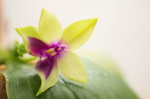 Phalaenopsis Yin's Bellina Kaiulani x LD's Bear Queen