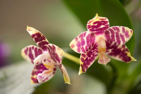 Phalaenopsis Hannover Passion 'Ching Ruey'