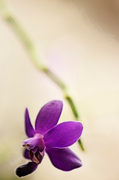 Phal.  Sapphire's Galah. Sketch of a single Flower
