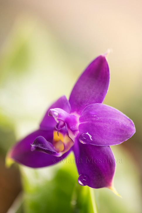 Phalaenopsis violacea flower covered with water drops