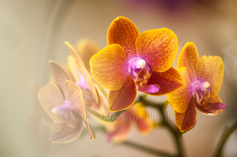Phalaenopsis Orchid Sogo Lawrence