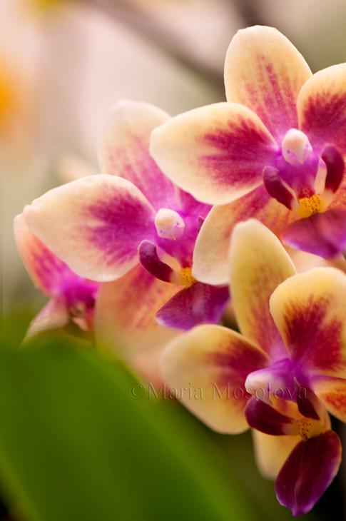 Phalaenopsis Sogo Gotris 'Sweetheart'