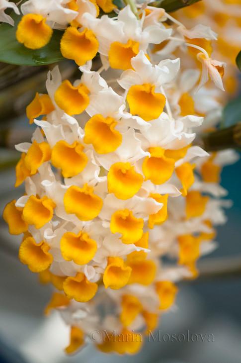 Blossoming Inflorescense of Dendrobium farmeri