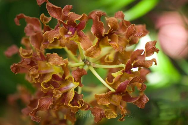 Durabaculum undulatum var. undulatum. Golden orchid