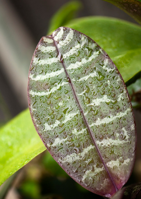 Leaf of phalaenopsis schilleriana covered with water drops