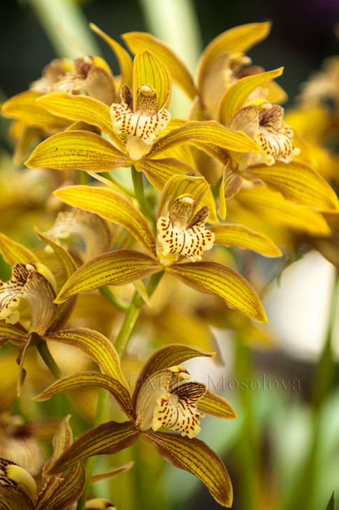 Cymbidium tracyanum hybrid