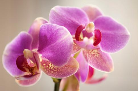 Phalaenopsis Meiderland Pride