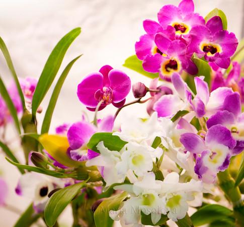 Dendrobiums Country Girl 'Warabeuta', Spring Dream 'Apollon'