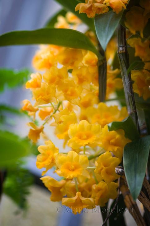 Vivid Yellow Flowers Of Dendrobium Densiflorum