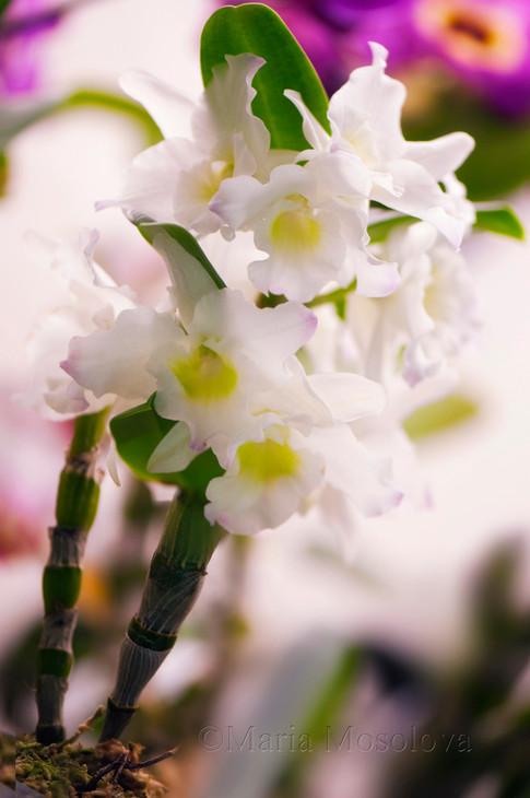 Dendrobium Sea Mary 'Snow King'