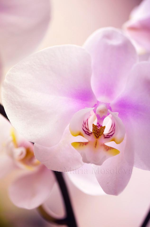 Phalaenopsis Maki Watanabe