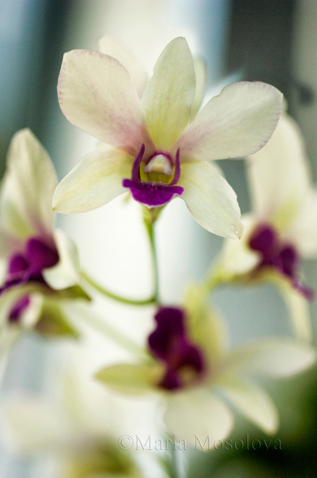 Off White with Purple Center and  Lip Dendrobium Orchid