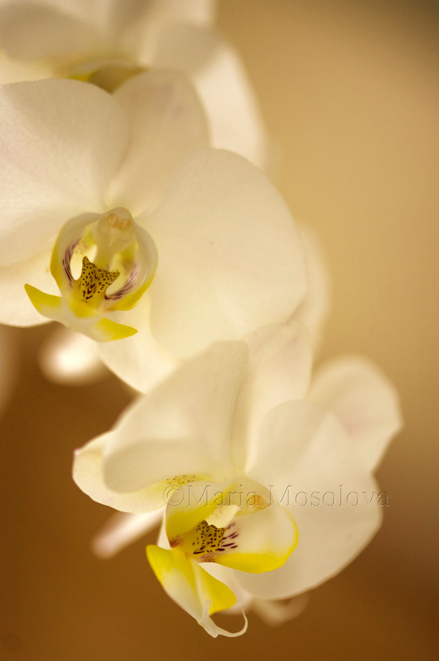 Clear White Phalaenopsis Rothschildiana 'Oriental Beauty'